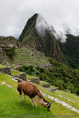 Llamas at Machu Picchu, Cuzco Region. (Tom Hanslien Photography) Tags: peru latinamerica southamerica cuzco trekking cusco machupicchu americas salkantaytrek cuzcoregion cuscoregion trektomachupicchu