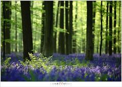 De hyacinten van het Hallerbos (5D051905) (nandOOnline) Tags: bomen belgi boom bos lente zon halle bloemen zonlicht bloem hallerbos lelie hyacint tranendal hyacinthoidesnonscripta bloeien beukenbos boshyacint beukenbomen wildehyacint vlaamsgewest