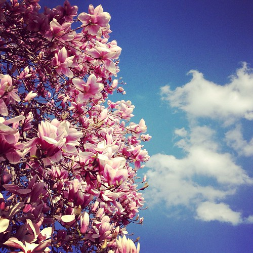 Magnolias in the Sky