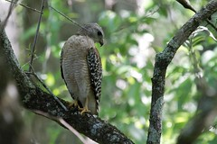 Red-shouldered Hawk (Linda Bushman) Tags: florida corkscrew