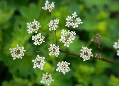 Darts Hill Garden, British Columbia (Explore May 11, 2013) (careth@2012) Tags: flower perfectpetals unforgettableflowers thebestofunforgettableflowers perfectpetalsprestigious