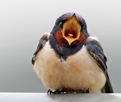 Barn swallow (Roger H3) Tags: bird barn lincolnshire swallow hirundine