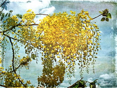 Golden Shower Tree (Cassia fistula) (ulli_p) Tags: flowers blue trees light sky flower tree art texture nature colors beautiful yellow clouds thailand gold colorful asia colours blossoms best bud botany textured awesomeblossom isan photomix naturesfinest treeflower exoticflowers amazingcolours aworkofart anawesomeshot flickraward texturedphoto ruralthailand flowerpicturesnolimits unseenasia earthasia awardtree awesomeblossoms totallythailand artofimages exoticimage mygearandme dokmaithai canoneoskissx5 bestevergoldenartists