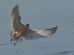 Fuselo // Bar-Tailed Godwit (jvverde) Tags: bird nature birds natureza birdsinportugal avesemportugal aves ave avifauna bartailedgodwit limosalapponica fuselo