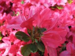 HMM ~ ethereal pinkness (karma (Karen)) Tags: flowers home dof azaleas bokeh maryland baltimore ethereal brightcolors macros frontyard bushes hmm 4spring macromondays