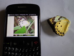 tributes to wikipedia (dotun55) Tags: mobile butterfly blackberry id internet device moths wikipedia identification encyclopedia fieldguide bushbrown belenoiscalypso