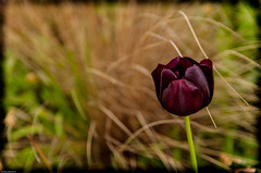 Tulipe.... (Photos.dan2010 Merci pour vos 150k visites!!!!!!!!) Tags: rememberthatmomentlevel2 rememberthatmomentlevel3 remembertahtmomentlevel1