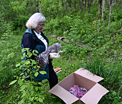 release of orphaned barred owls (bob schlake) Tags: raptor inc owls barred okeana httpwwwraptorincorg