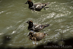 """Harlequin Ducks • <a style=""""font-size:0.8em;"""" href=""""http://www.flickr.com/photos/63501323@N07/8733271673/"""" target=""""_blank"""">View on Flickr</a>"""