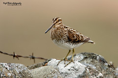 Common Snipe, Gallinago gallinago (Nigel Blake, 2 million views Thankyou!) Tags: bird nature birds wall canon photography wildlife perched blake common nigel ornithology drystone snipe gallinago 600mm f4is eos1dsmkiii
