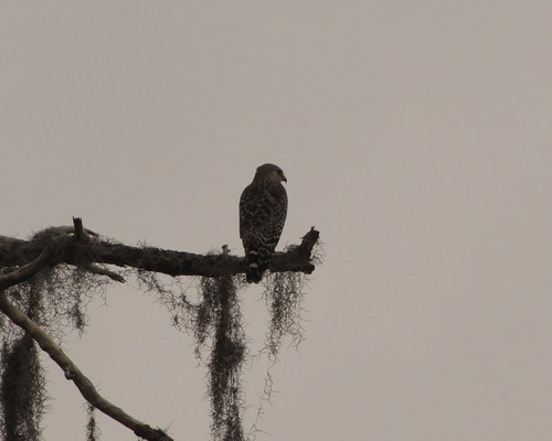 Red Shouldered Hawk; Buteo lineatus