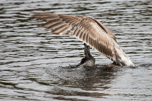 A Gull tries to take a baby Pied-billed by mikebaird, on Flickr