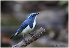 Ultramarine Flycatcher (g_singh1) Tags: flycatcher ultramarineflycatcher 50d asian avifauna bird birds canon delhi delhibirds eos india indianbirds nature indianwildlife photograph photographer photography sattal wildlife wildlifephotography kumaon