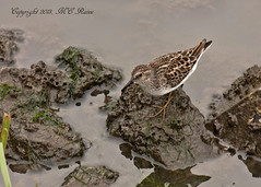 Least Sandpiper Looking for Dinner Before Sunset at Mill Creek Marsh in Secaucus NJ (Meadowlands) (takegoro) Tags: creek sandpiper  leastsandpiper marsh nature wildlife meadowlands mill nj birds secaucus