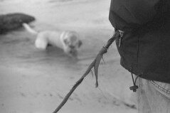 Deep pockets (macromary) Tags: leica blackandwhite bw dog white black beach 35mm vintage blackwhite sand lab labrador yellowlab dof florida naturallight retriever depthoffield vintagecamera labradorretriever manual filmcamera ilford intracoastal leicaflex oldglass vintagelens primelens hypoluxo mechanicalcamera