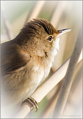 Reed Warbler (Acrocephalus scirpaceus) (Steviepix) Tags: england windmill landscape photo spring walk buckinghamshire may pitstone 2013 natureplus 365project steviepix