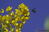 DSC_9882_ Mamangava (Alexandro Santos Fotografia) Tags: nature bug inseto mamangava d5100