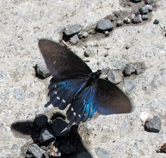 Pipevine Swallowtail (K Schneider) Tags: male swallowtail pipevine battus philenor