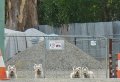 Four Little Guard Dogs (mikecogh) Tags: cute gate pile irony gravel terriers guarddogs echunga