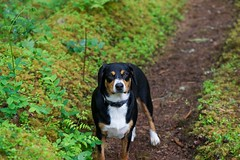 Sage (Thaddz) Tags: dog puppy hiking trail northcascades sennenhund entlebucher entlebuchermountaindog