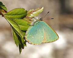Green Hairstreak (Robert Horne Wildlife Photography) Tags: butterfly westsussex hairstreak greenhairstreak callophrysrubi southdownsnationalpark