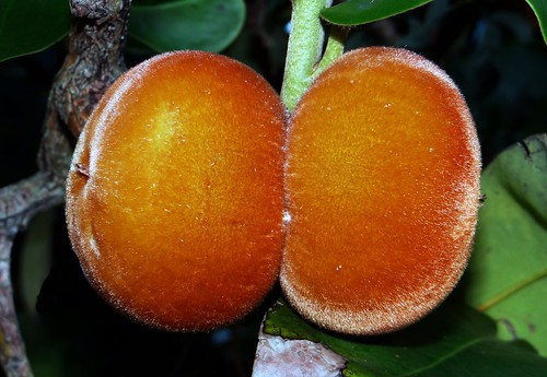 VELVET APPLE / MABOLO  #6  (Bangla = বিলিতি গাব)