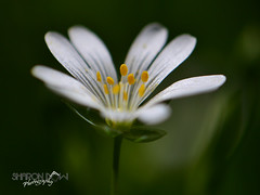 Greater Stitchwort (Sharon Dow - Arm Op 16th May = No Photography :'-() Tags: uk flowers england white flower beautiful sussex flora nikon pretty westsussex britain south peaceful southeast scented bluebellwoods southernengland stellaria stellariaholostea greaterstitchwort 2013 holostea thakeham addersmeat d3100 sharondowphotography sharondow