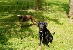 Suede (samd517) Tags: training pen puppy living labrador exercise free retriever doberman leash bourbon kennel suede pinscher distraction in