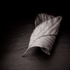 turning over (an old leaf) (Jon Downs) Tags: old color colour macro art colors monochrome closeup digital canon downs photography eos photo leaf jon flickr artist colours photographer image picture pic photograph 7d copper jondowns turningoveranoldleaf