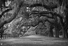 Boone Hall Plantation, Mt. Pleasant, S.C. (Dennis Cluth) Tags: trees art monochrome nikon southcarolina plantation d800