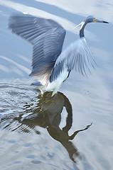 Tri-colored Heron... reflecting on take off! (jungle mama) Tags: heron waterbird marsh blueheron wetland supershot coth5 mygearandme wakodahatcheewetlandsdelraybeachfl rememberthatmomentlevel1 sunrays5 vigilantphotographersunite