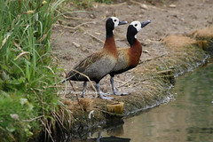 White-faced whistling ducks (tommyajohansson) Tags: bird london birds geotagged barnes oiseau pajero vogel oiseaux fglar fgel londonwetlandcentre whitefacedwhistlingduck pajeros vogeln tommyajohansson