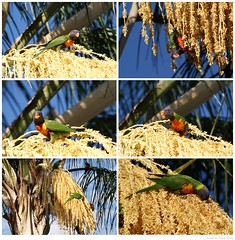 photoboard2 (Trev & Chris Barre) Tags: travel photography wildlife australia southaustralia lorikeets
