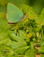 The Green Hairstreak - Callophrys rubi (Pete Withers) Tags: