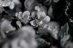 undecided (reinetor) Tags: light flower macro up canon lens eos close bokeh 5d wrinkle f28 undecided raindrop mark3 色彩 everythingisilluminated ef100 alwaysthinkingaboutyou カラー写真