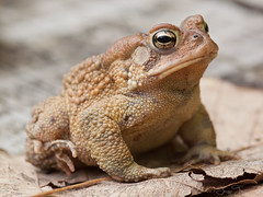 Mr. Toad (JacquiTnature) Tags: nature garden pond wildlife frog toad mrtoad insectivore windinthewillows anura reptilesandamphibians jacquit