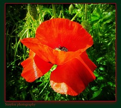 Red and green (Susyfox - on/off some month for next moving house) Tags: flowers light red macro green nature colours poppies rememberthatmomentlevel4 rememberthatmomentlevel1 rememberthatmomentlevel2 rememberthatmomentlevel3 vigilantphotographersunite