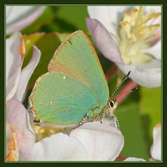 Green Hairstreak (Full Moon Images) Tags: england macro green nature butterfly insect natural wildlife reserve holes hills national hairstreak nnr barnack barnackhillsandholes