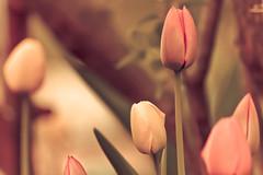Spring sensuality (SolsticeSol) Tags: spring tulips beautifulflowerpictures beautifulflowerimages