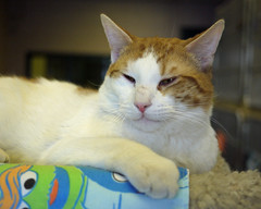 Cody_02 (AbbyB.) Tags: rescue cat feline kitty adopt mtpleasantanimalshelter