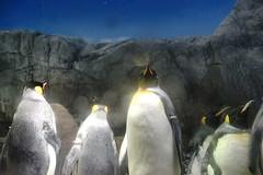 (ddsnet) Tags: travel bird birds japan night zoo sony birding 99   nippon kansai  birdwatching nihon slt backpackers        bird    zoo zoobird   osakafu  sakashi      birdwatchinginjapan   singlelenstranslucent 99v