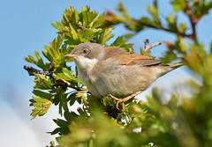 Whitethroat. (Alan.Edmondson) Tags: uk nature birds nikon flickr wildlife sigma explore devon perch handheld z winged rspb edmondson nbw hsm explored avianexcellence 150500 distinguishedpictures d7000 distinguishedbirds nikond7000 iplymouth