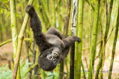 Hangin Around (Poadawg) Tags: africa travel mountains cute green tourism animal forest furry outdoor group hike bamboo rwanda ancestor ape 50mmf14 d800 pnv mountaingorilla greatnature 2013 beringei sabinyo