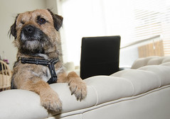 Bella in the Sofa (wargur) Tags: borderterrier