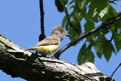 Great Crested Flycatcher - Myiarchus crinitus - Hamilton County, Ohio, USA - May 13, 2013 (mango verde) Tags: ohio usa bird yard migration flycatcher migrant hamiltoncounty tyrannidae myiarchus crinitus tyrantflycatchers greatcrestedflycatchermyiarchuscrinitus