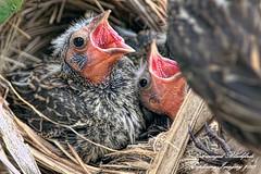 20130513-2553 (Exploring Imagery) Tags: bird birds nest birding birdwatching blackbird nesting redwingedblackbird birdsofwashington canon50d canon300mm exploringimagery