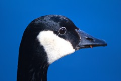 Canada Goose (James Inglis) Tags: park canada nature canon bc abbotsford