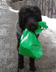The little helper (ninasthlm) Tags: shopping solna workingdog apport portuguesewaterdog dogwork portugisiskvattenhund apportering portugusewaterdog