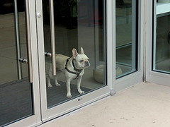 Guard Dog (Renee Rendler-Kaplan) Tags: door morning windows dog white chicago glass shop standing canon reflections store waiting closed gbrearview watching may saturday doorway storefront wait frenchie frenchbulldog harness pooch staring stay gapersblock wbez dunno chicagoillinois guarddog wellsstreet chicagoist notopen 2013 reneerendlerkaplan guarddogonpatrol canonpowershotsx40hs guardingtheshop