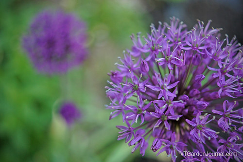 Allium blossoms